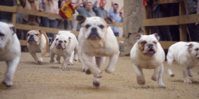 İspanya'daki geleneği bulldoglar sürdürüyor