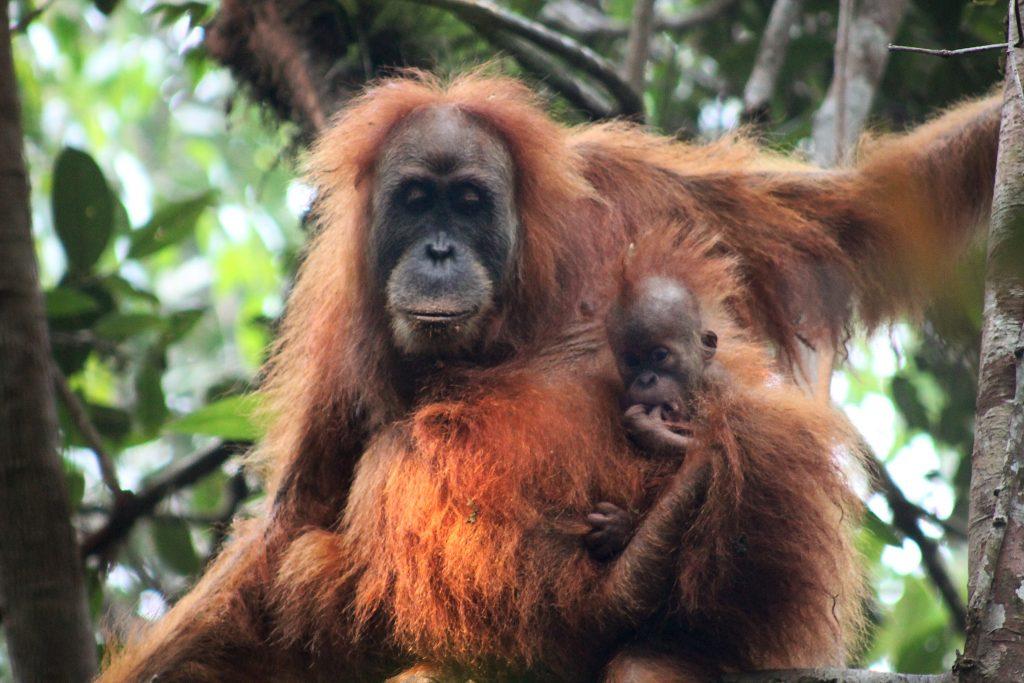 Sumatran Orangutan Indonesia copyright James Askew