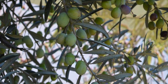Bugün Japonya'da 2 milyon haneye Komili zeytinyağı satılıyor
